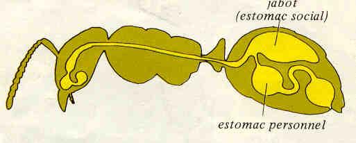 fourmi anatomie